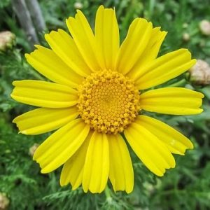 arnica ingredient